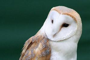 barn-owl-LucianoArielMedina-wikif