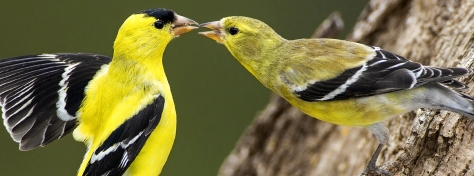 American-Goldfinches_Gerald-Marella_SS
