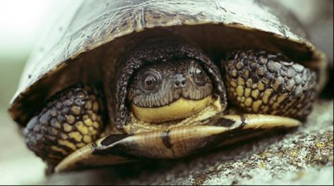 Blandings-Turtle600