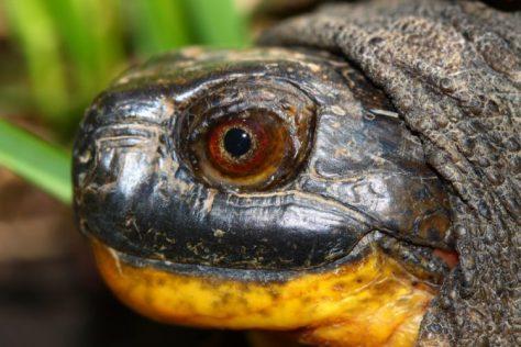Fotolia_Blandings-Turtle_S-e1466534508444