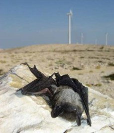 bat-killed-by-wind-turbine-blades