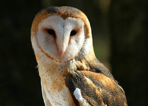 barn-owl-ontario-govt-e1415311482334