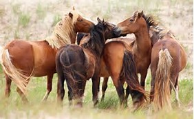 sable-island-horses-2