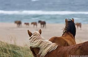sable-island-horses