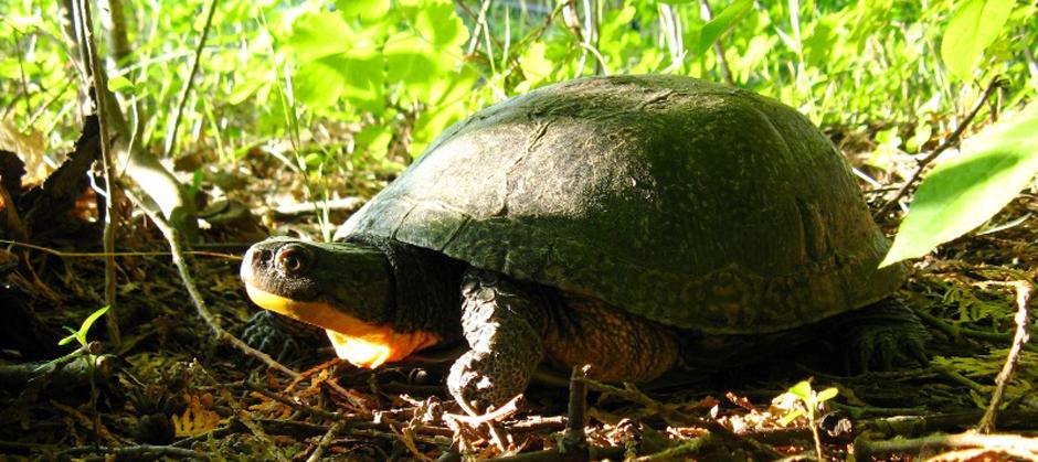 blandings-turtle 3