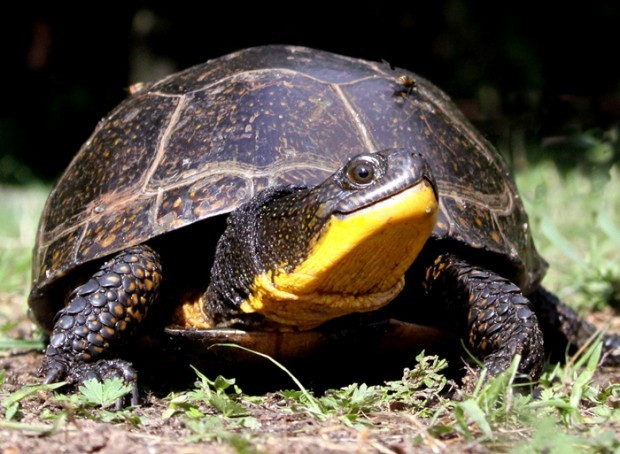 blandings turtle smile.jpg
