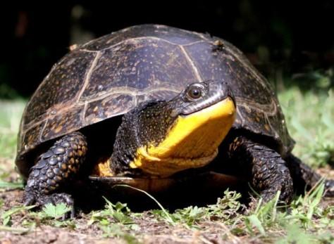 blandings turtle smile.jpg