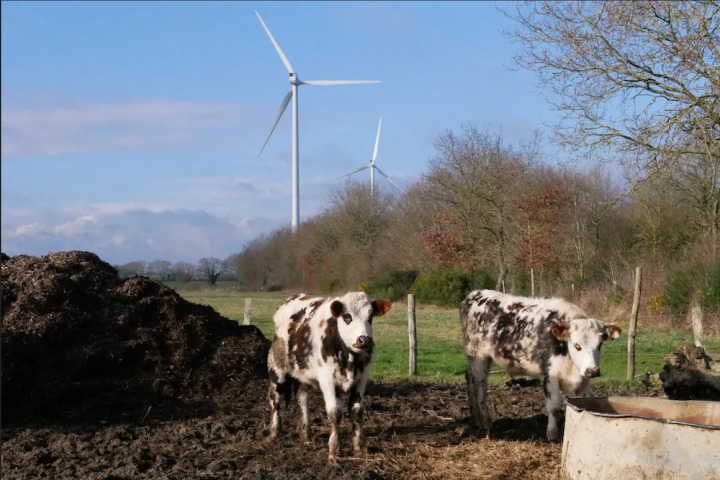 cattle and wind turbine
